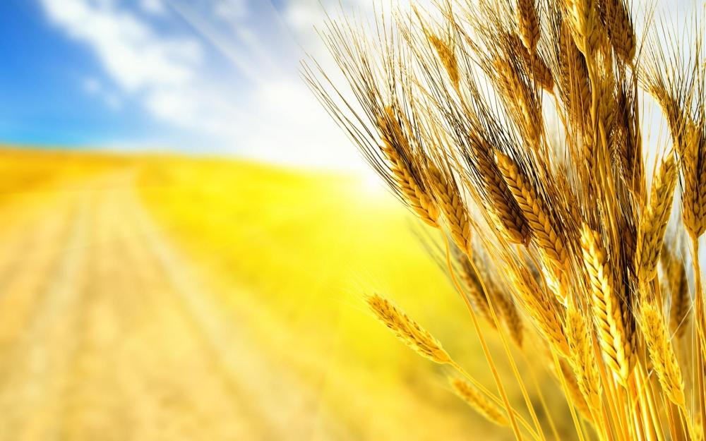 Картинка для баннера пшеница